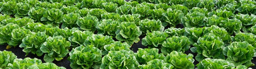 smart-lettuce-900px